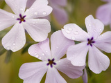Longleaf Phlox Flowers (Phlox Longifolia), Columbia River Gorge, Oregon, USA Photographic Print by David Cobb