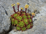 Live-Forever (Dudleya Farinosa), Salt Point State Park, California, USA Photographic Print by Gerald & Buff Corsi