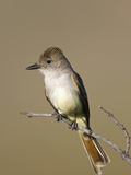 Ash-Throated Flycatcher (Myiarchus Cinerascens), Big Bend National Park, Texas, USA Photographic Print by John Abbott