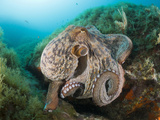 Common Octopus (Octopus Vulgaris) over Reef, Cap De Creus, Costa Brava, Spain Photographic Print by Reinhard Dirscherl