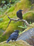 Northwestern Crow (Corvus Caurinus), Anan Creek, Alaska, USA Photographic Print by Buff & Gerald Corsi