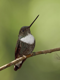 Collared Inca Hummingbird (Coeligena Torquata) Perched on a Branch at Guango Lodge, Ecuador Photographic Print by Glenn Bartley
