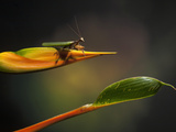 Praying Mantis on a Heliconia Flower, Costa Rica Photographic Print by Gregory Basco