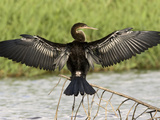 Anhinga Drying its Wings, Costa Rica Photographic Print by Gregory Basco