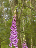 Foxglove Flowers (Digitalis Purpurea) Photographie par Gary Cook