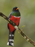 A Masked Trogon (Trogon Personatus Assimilis) Perched on a Branch, Tandayapa Valley, Ecuador Photographic Print by Glenn Bartley