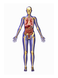 Biomedical Illustration of an Adult Man, Frontal View Giclee Print by Scott Camazine