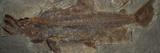 One Million Year Old Sockeye Salmon Fossil, Skokomish River Valley, Olympic Peninsula, Washington Photographic Print by Buff & Gerald Corsi