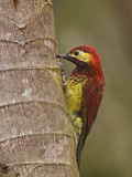 Crimson-Mantled Woodpecker (Piculus Rivoli) Perched on a Branch, Tandayapa Valley, Ecuador Photographic Print by Glenn Bartley
