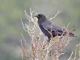 Northwestern Crow (Corvus Caurinus) Perched on a Branch, Victoria, BC, Canada Photographic Print by Glenn Bartley