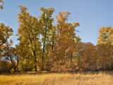 Black Cottonwoods or Balsam Poplars in Autumn Colors (Populus Balsamifera Trichocarpa), Chester Photographic Print by Gerald & Buff Corsi