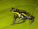 Poison Dart Frog with Yellow Stripes (Dendrobates Flavovittatus) Sitting on a Wet Leaf Photographic Print by Christopher Crowley