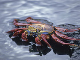 Sally Lightfoot Crab Feeding at the Waters Edge, Santiago, Galapagos Islands, Ecuador Photographic Print by Gary Cook