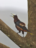 Chestnut-Headed Oropendola Calling, Costa Rica Photographic Print by Glenn Bartley
