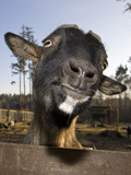 Domestic Goat (Capra Hircus) Looking over a Fence Photographic Print by Reinhard Dirscherl