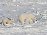 Polar Bear (Ursus Maritimus) Sow Walking with Two Cubs on Ice, Churchill, Manitoba, Canada Photographic Print by Cheryl Ertelt