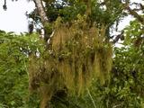 Liverworts (Frullania Aculeata), Santa Cruz Island, Galapagos, Ecuador Photographic Print by Gerald & Buff Corsi
