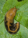 Banana Slug on Leaf, Ariolimax Columbianusn Gulch State Park Photographic Print by Gerald &amp; Buff Corsi
