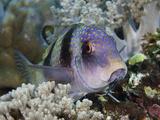 Doublebar Goatfish (Parupeneus Bifasciatus) Resting on a Coral Reef Photographic Print by David Fleetham