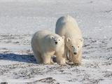 Polar Bear (Ursus Maritimus) Pair Walking on Ice, Churchill, Manitoba, Canada Photographic Print by Cheryl Ertelt