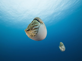 Nautilus, (Nautilus Pompilius), Great Barrier Reef, Australia Photographic Print by Reinhard Dirscherl