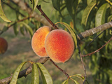 Peaches Ripening on the Tree (Prunus Persica) Photographic Print by Marc Epstein