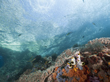 Fish Swimming Near a Coral Reef, Pacific Ocean, Raja Ampat, West Papua, Indonesia Photographic Print by Reinhard Dirscherl