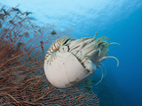 Chambered Nautilus (Nautilus Belauensis) Near a Sea Fan, Micronesia, Palau Photographic Print by Reinhard Dirscherl
