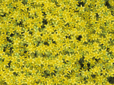 Dense Flower Growth of the Popular Ground Cover Sedum Acre Photographic Print by Wally Eberhart