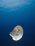 Nautilus (Nautilus Pompilius), Great Barrier Reef, Australia Photographic Print by Reinhard Dirscherl