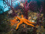 Red Starfish on a Coral Reef (Echinaster Sepositus), Cap De Creus, Costa Brava, Spain Photographic Print by Reinhard Dirscherl