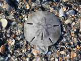 Sand Dollar Bleached Skeleton on Beach (Mellita Quinquiesperforata), South Carolina, USA Photographic Print by Marc Epstein