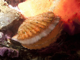 Giant Rock Scallop (Crassadoma Gigantea) Photographic Print by Buff & Gerald Corsi