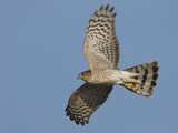 Sharp-Shinned Hawk Adult in Flight Photographic Print by Richard Ettlinger