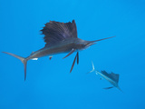 Atlantic Sailfish (Istiophorus Albicans), Isla Mujeres, Yucatan Peninsula, Caribbean Sea, Mexico Photographic Print by Reinhard Dirscherl
