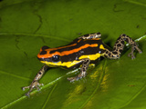 Poison Dart Frog with Red Stripes (Dendrobates Uakarii) Crawling on a Wet Leaf Photographic Print by Christopher Crowley
