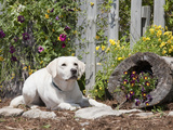 Labrador Retriever Sitting in a Garden, MR Photographic Print by Cheryl Ertelt