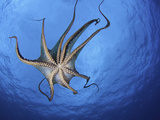 Day Octopus (Octopus Cyanea) Swimming as Seen from Below, Showing its Tentacles and Suckers Photographic Print by David Fleetham