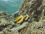 Red Sea Bannerfish, (Heniochus Intermedius) Daedalus Reef, Red Sea, Egypt Photographic Print by Reinhard Dirscherl