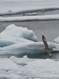 The Northern Fulmar (Fulmarus Glacialis), Spitsbergen Island, Svalbard, Norway Photographic Print by Buff & Gerald Corsi