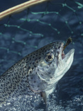 Rainbow Trout Being Netted with a Lure in its Mouth Photographic Print by Wally Eberhart