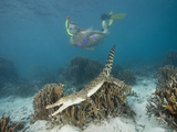 Snorkeler Skin Diver Near a Saltwater Crocodile Swimming over Coral Reef (Crocodylus Porosus) Photographic Print by Reinhard Dirscherl