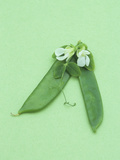 Snow Pea, a Popular Stir Fry Vegetable Photographic Print by Wally Eberhart