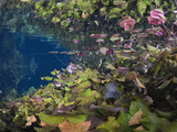 Water Lilies in Gran Cenote, Tulum, Yucatan Peninsula, Mexico Photographic Print by Reinhard Dirscherl