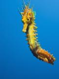 Yellow Long Snouted Seahorse (Hippocampus Ramulosus), Tamariu, Costa Brava, Mediterranean Sea Photographic Print by Reinhard Dirscherl