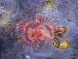 Red Tube Worm (Serpula Vermicularis), Cap De Creus, Costa Brava, Spain Photographic Print by Reinhard Dirscherl
