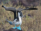 Blue-Footed Booby Courtship Display (Sula Nebouxii), North Seymour, Galapagos Islands, Ecuador Fotografie-Druck von Gerald & Buff Corsi