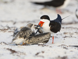Black Skimmer (Rynchops Niger) Feeding its Chick a Fish in its Sandy Beach Nest Reproduction photographique par John Cornell