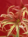 Amaryllis Flower (Hippeastrum), La Paz Variety Photographic Print by Wally Eberhart