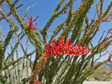 Ocotillo, Joshua Tree National Park, California, Mojave Desert Photographic Print by Buff & Gerald Corsi